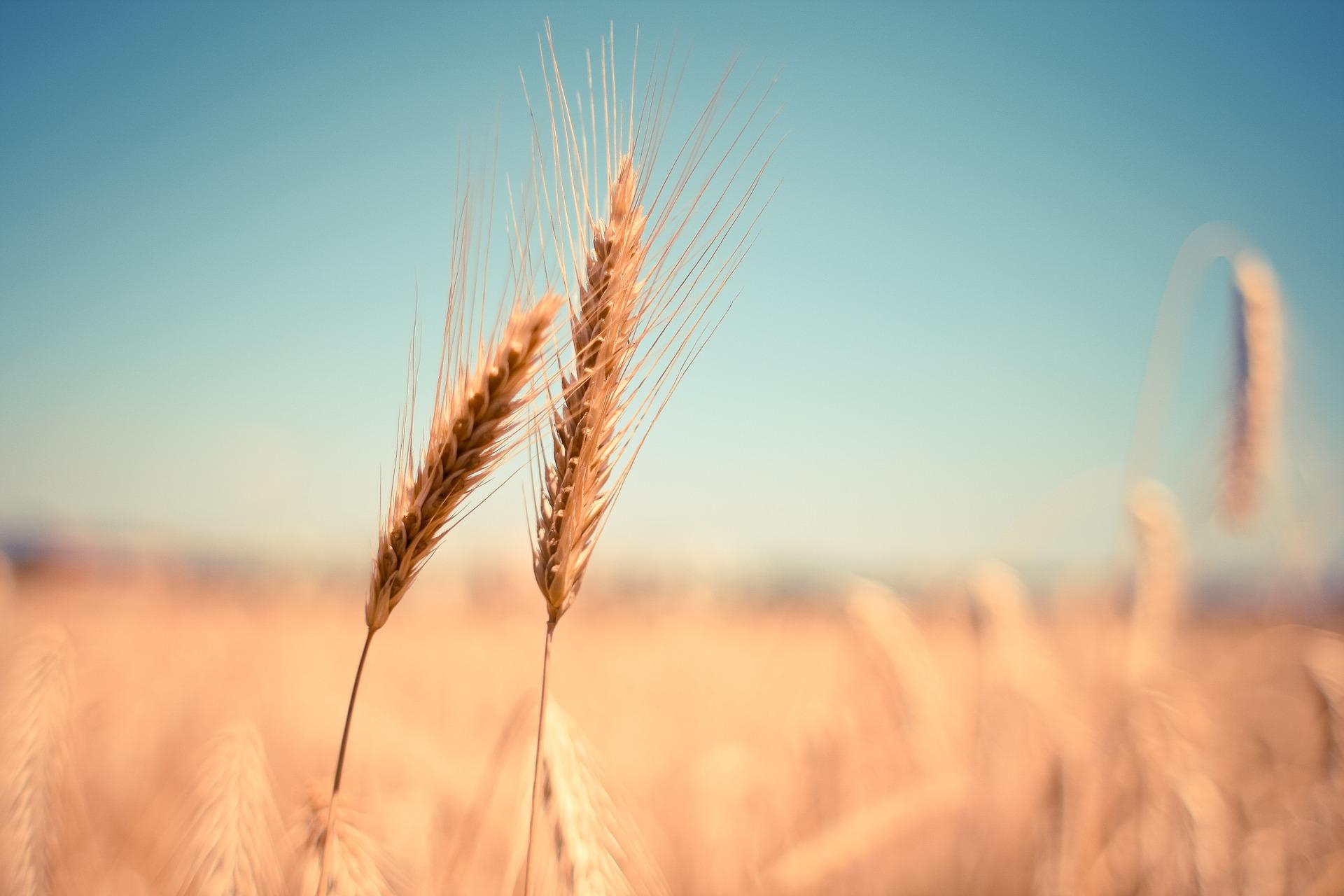 wheat-865152_1920