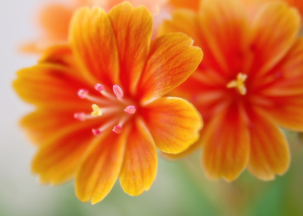 lewisia-bitterwurz-blossom-bloom-orange-bright